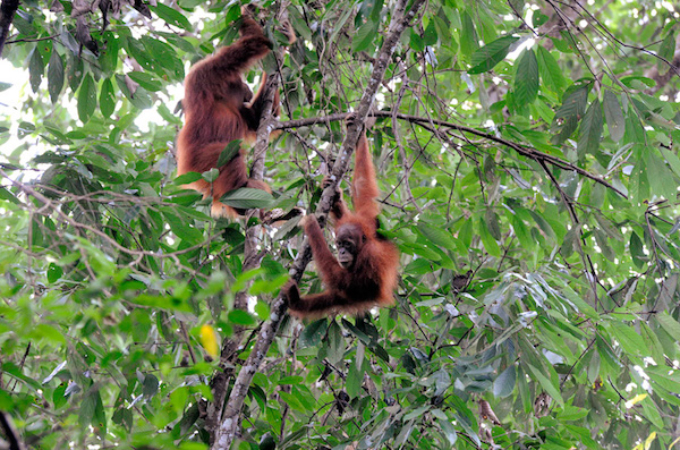Orangs in trees